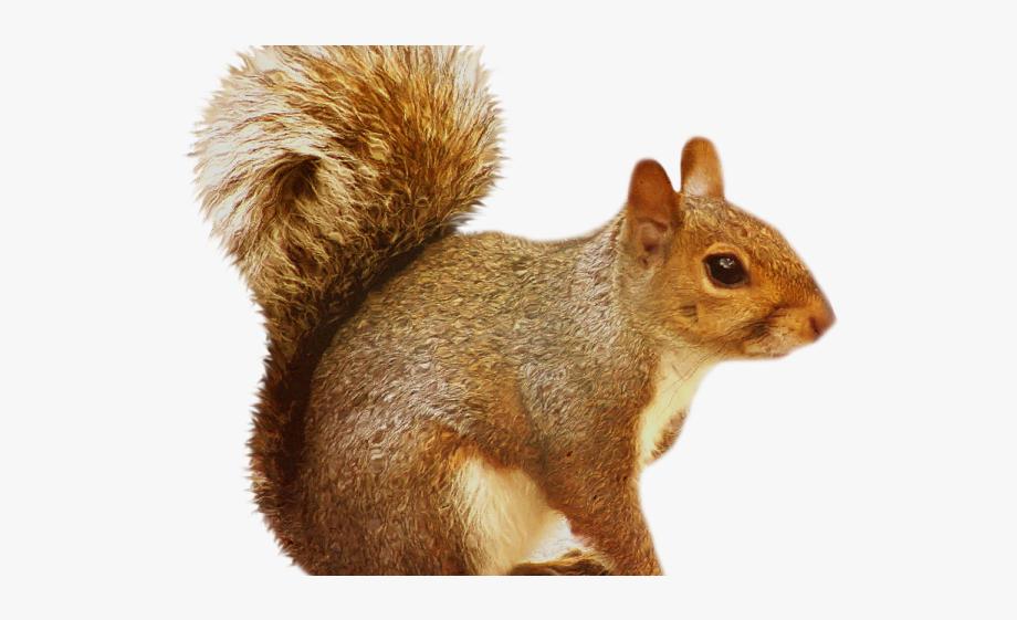 Red Squirrel Clipart Ground Squirrel.