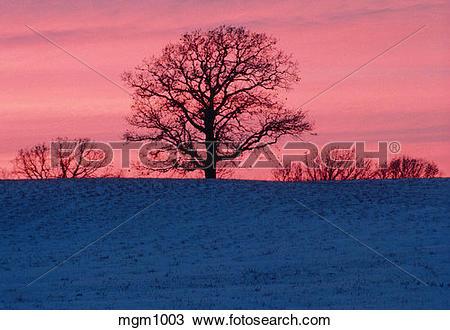 Stock Photo of Winter sunrise and oak tree. Carver Park Reserve.