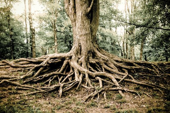 Woodland Tree Roots Photography, Fine Art Print, Tree Roots.