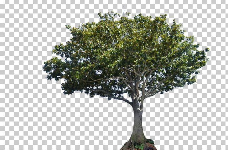 Tree Canopy Bay Laurel PNG, Clipart, Bay Laurel, Beijing.