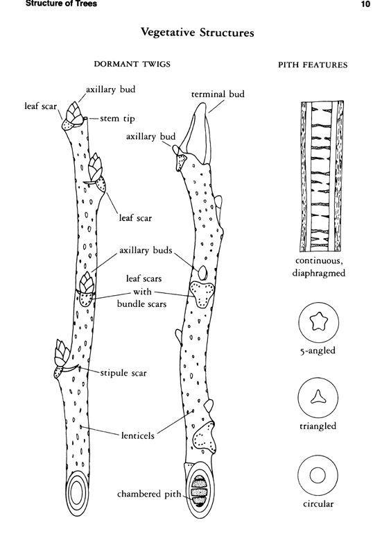 Use Tree Parts to Identify a Tree.