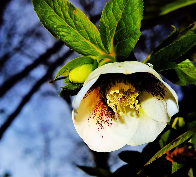 Free photo Christmas Rose Winterblueher Flower White Blossom.