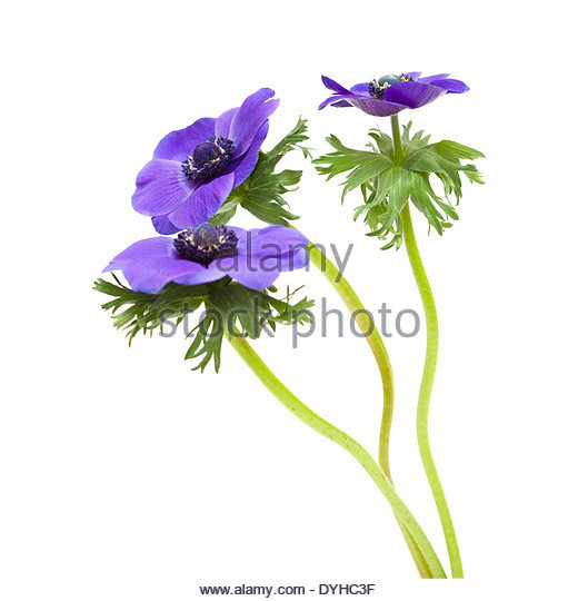 Blue Anemone Flower Cut Out Stock Images & Pictures.