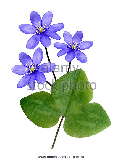 Hepatica Cut Out Stock Images & Pictures.