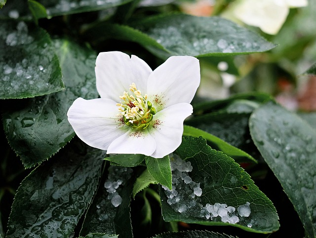 Free photo White Blossom Christmas Rose Flower Winterblueher.