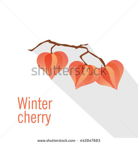 Physalis. Winter Cherry. Vector Illustration..