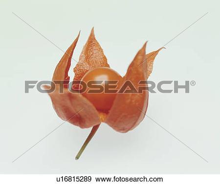 Stock Photograph of Winter cherry u16815289.