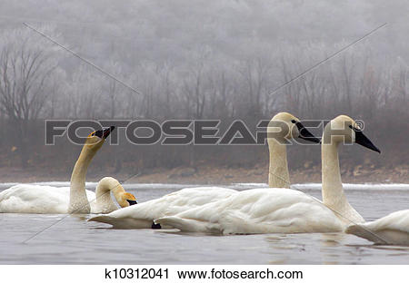 Stock Photography of Wintering Trumpeter Swans k10312041.