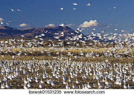 "Stock Image of ""Snow Geese (Anser caerulescens atlanticus, Chen."