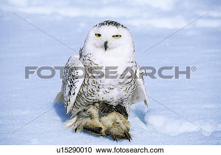 Stock Photography of Adult female snowy owl (Bubo scandiaca) with.