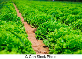Stock Photo of Kale from Oldenburg csp8030524.