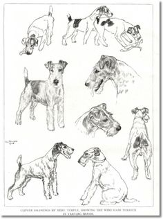 Original Pen & Ink drawing Airedale Terriers V Fox Terriers.