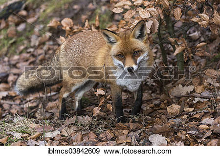 """Stock Photograph of """"Red Fox (Vulpes vulpes), Wildpark Knull."""