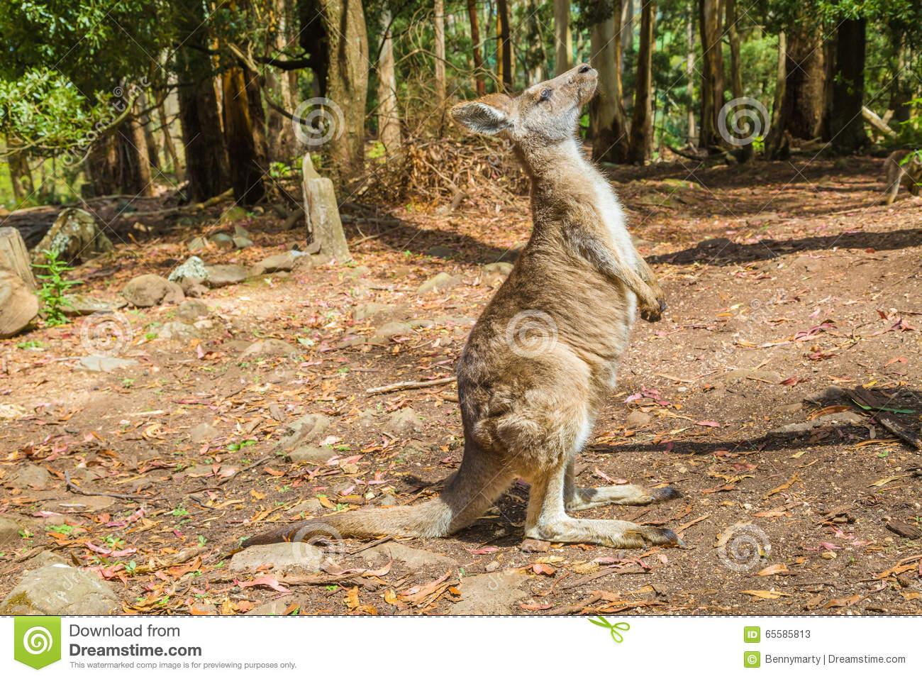 Kangaroo In Trowunna Wildlife Park Stock Photo.