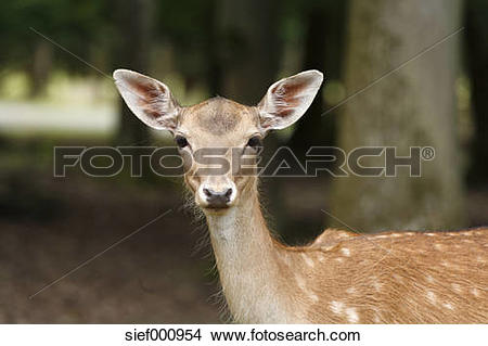 Stock Photo of Germany, Bavaria, Fallow deer in wildpark.