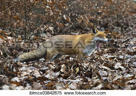 "Stock Image of ""Red Fox (Vulpes vulpes), Wildpark Knull wildlife."