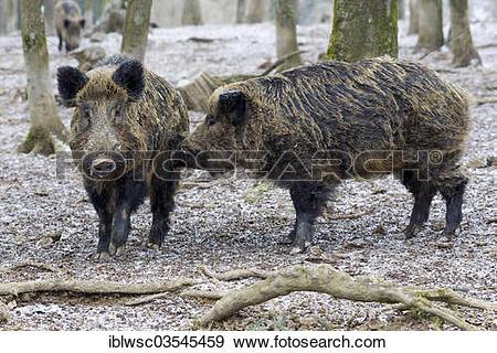 "Stock Photograph of ""Wild Boar (Sus scrofa), two boars, Wildpark."
