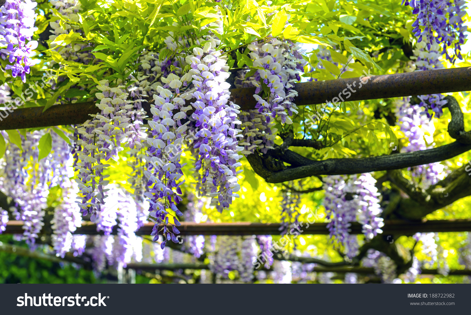 Pergola With Tendrils Of Chinese Wisteria Stock Photo 188722982.