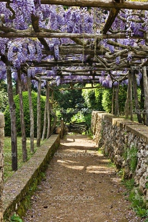 Wisteriaperfect cascading down from an overhead arbor or.