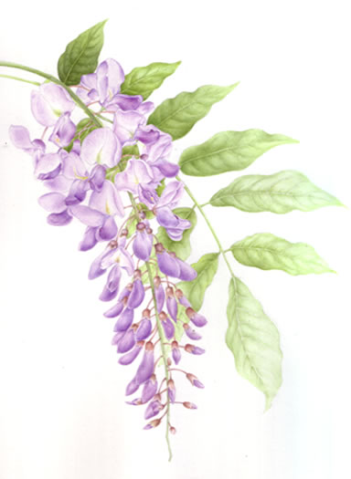 1000+ images about wisteria on Pinterest.