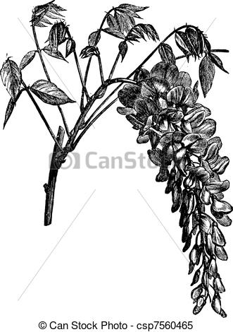 Wisteria Illustrations and Clip Art. 139 Wisteria royalty free.