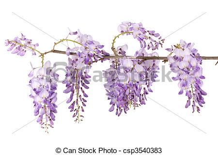 Wisteria Stock Photo Images. 1,142 Wisteria royalty free images.