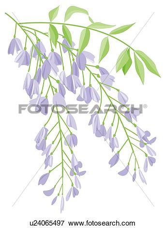 Stock Illustration of Blooms of flowered Wisteria u24065497.