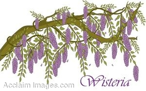 Clip Art of a Blooming Wisteria Vine.