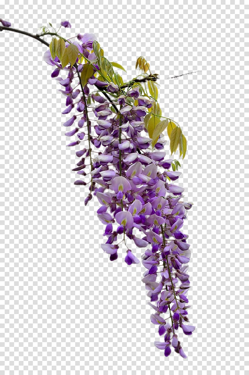 Beautiful wisteria transparent background PNG clipart.