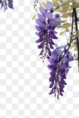 Wisteria PNG Images.
