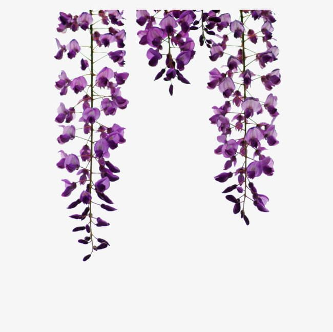 Wisteria Hanging Material PNG, Clipart, Flower, Flowers.