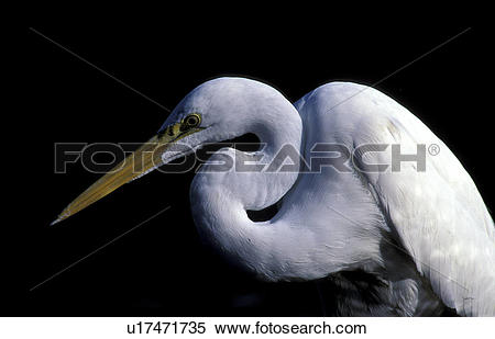 Stock Image of animals, aves, ardeidae, albus u17471735.