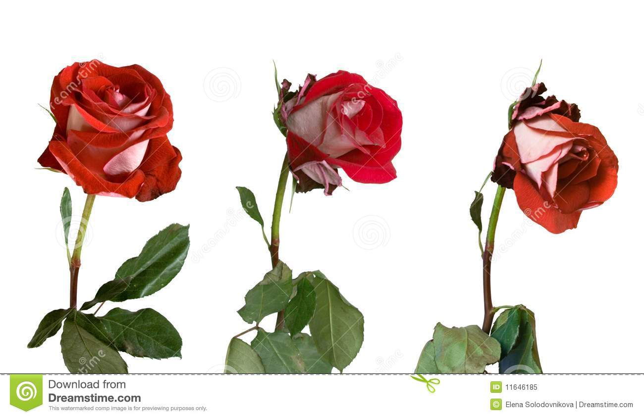 Withered Rose Clip Art.