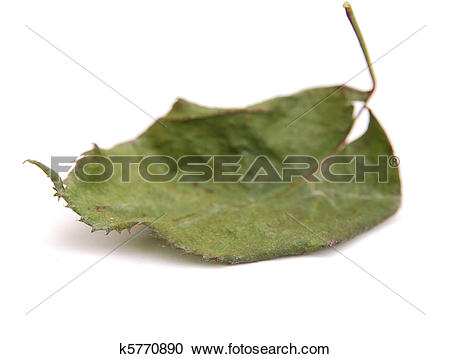 Stock Photography of A withered leaf rose k5770890.