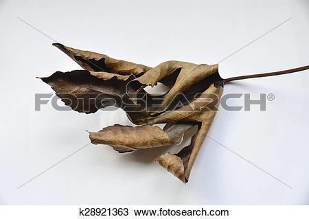 Stock Photo of Withered Leaf k28921363.