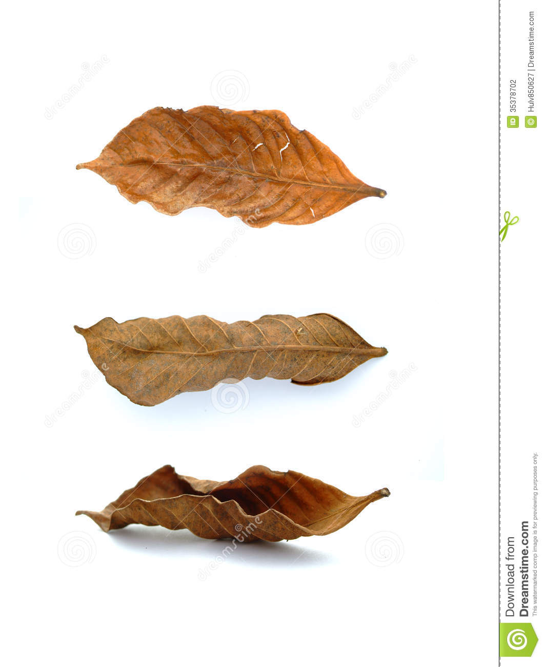 Isolated Withered Leaf Stock Photography.