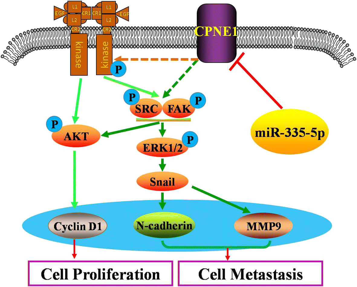 CPNE1 is a target of miR.