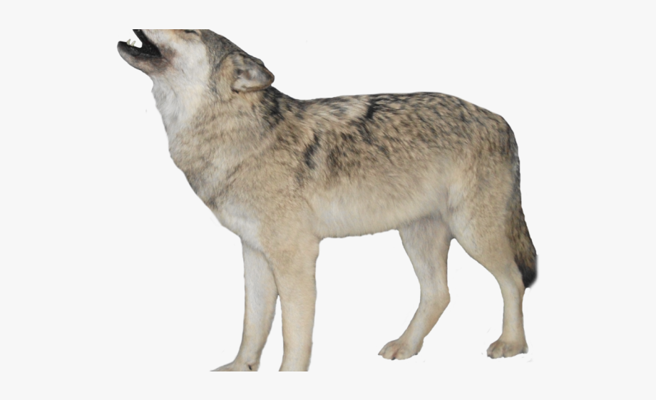 White Wolf Clipart Transparent Background.