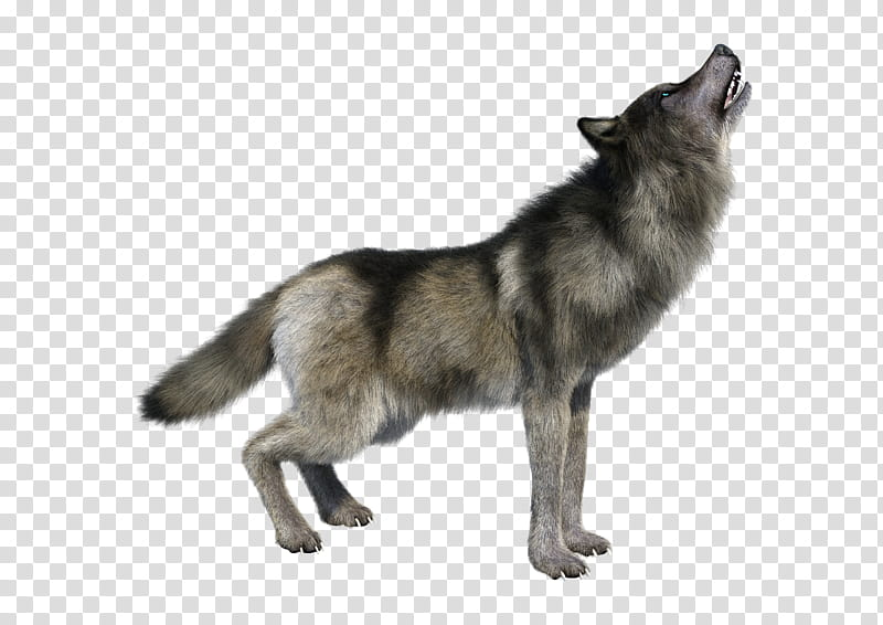 Wolf, black and gray wolf transparent background PNG clipart.