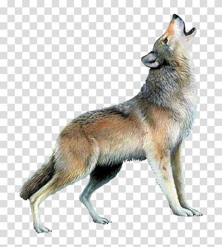 Wolf resources, grey wolf transparent background PNG clipart.