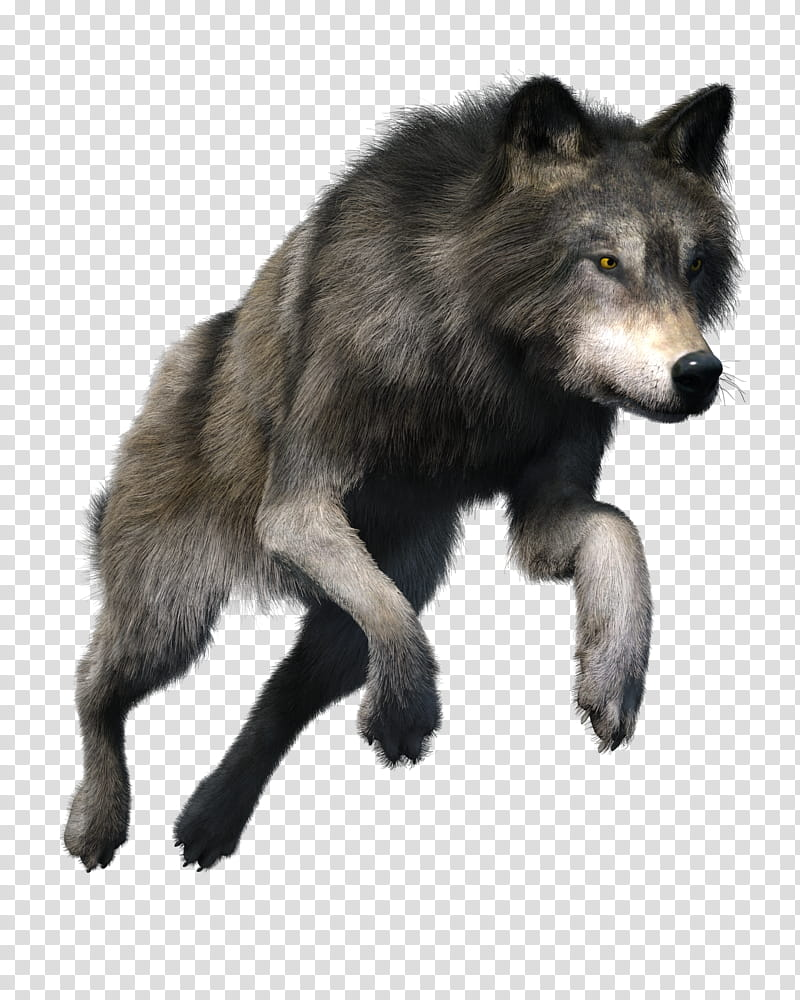 Free Wolf, gray wolf transparent background PNG clipart.