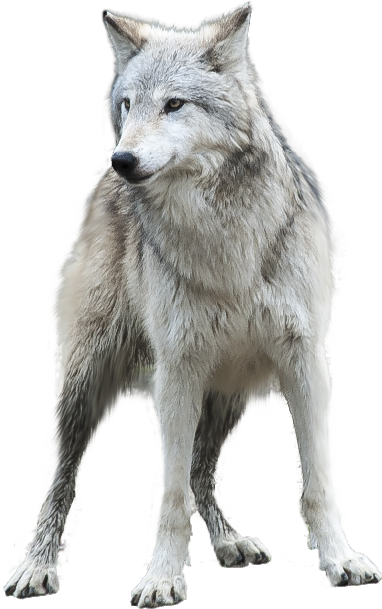 Download Wolf Png Transparent Images Transparent Backgrounds.