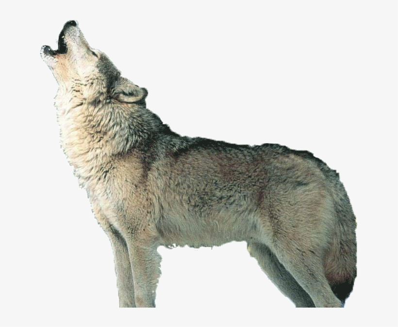 Wolf Howling PNG Images.