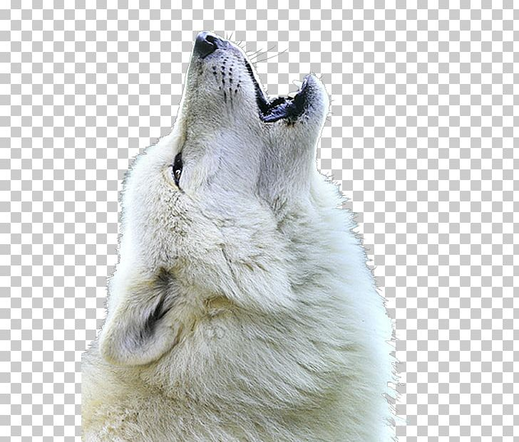 White Shepherd Berger Blanc Suisse Arctic Wolf Mexican Wolf Howl PNG.