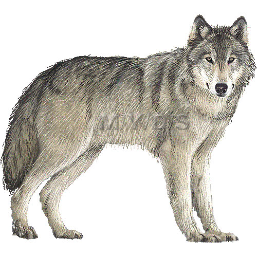 8828 Wolf free clipart.
