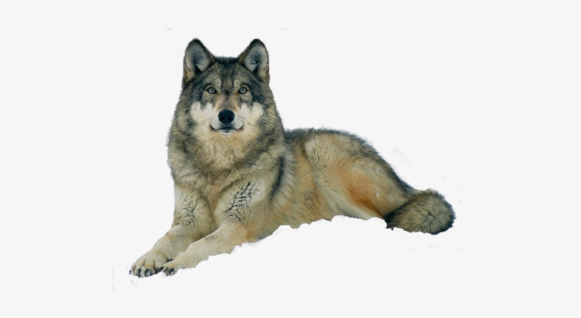 Gray Wolf Lying Down Transparent PNG.