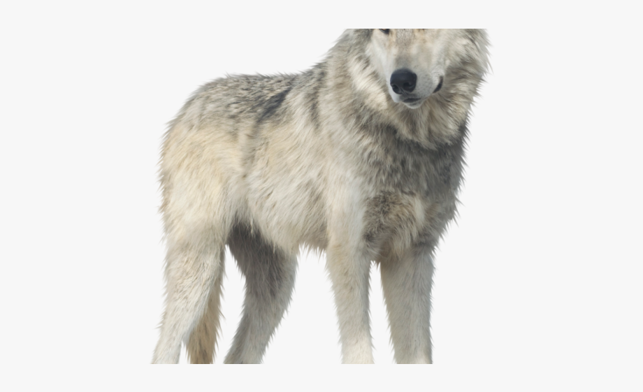 Coyote Clipart Winter Wolf.
