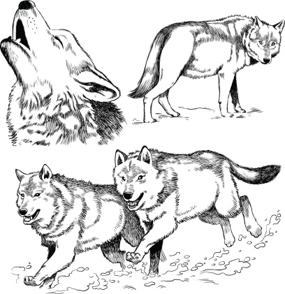 Realistic wolf pack clipart.