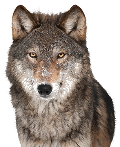 Download Free png Wolf PNG, Download PNG image with transparent.