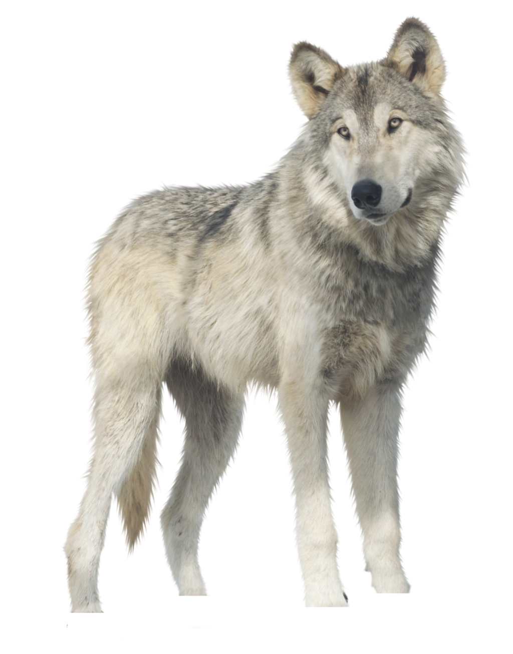 Download Wolf PNG.
